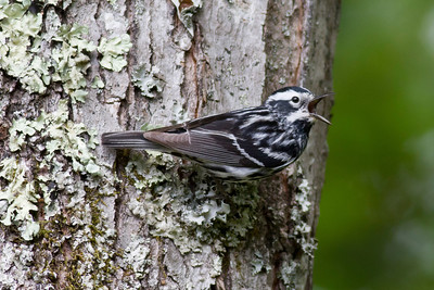 Black-and-White Warbler IMG_0102