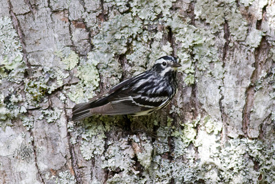 Black-and-White Warbler IMG_0090