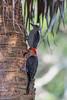 Red-bellied Woodpecker IMG_3141