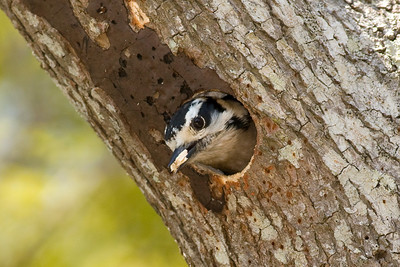 Downy Woodpecker IMG_1449 rev 1