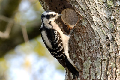 Downy Woodpecker IMG_1407 rev 1