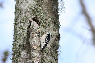 Downy Woodpecker IMG_8173