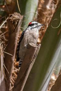 Downey Woodpecker IMG_4633
