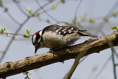Downy Woodpecker IMG_2617