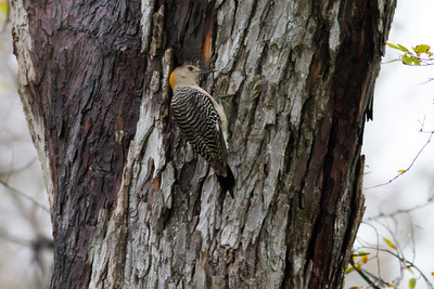Golden-fronted Woodpecker IMG_6481