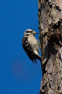 Downey Woodpecker IMG_4646