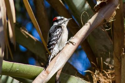 Downey Woodpecker IMG_4631