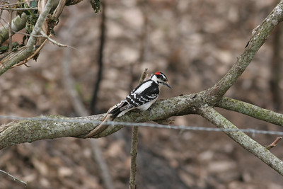 Downy Woodpecker IMG_0538