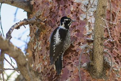 American Three-toed Woodpecker IMG_6659