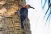 Red-bellied Woodpecker IMG_3146