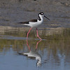 Black-necked Stilt IMG_6970