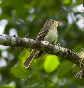 Acadian Flycatcher IMG_4136 rev 1