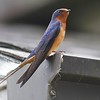 Barn Swallow IMG_2835