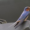 Barn Swallow IMG_2839