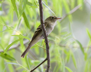 Acadian Flycatcher IMG_0469 rev 1