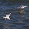 Bonaparte's Gulls IMG_5306