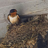 Barn Swallow IMG_2832