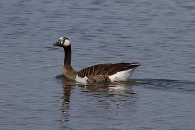 Canada Goose (variant) IMG_5460