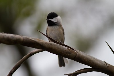 Carolina Chickadee IMG_1351