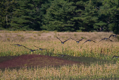 Canada Geese IMG_7291