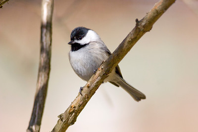 Carolina Chickadee  IMG_0358 rev 1