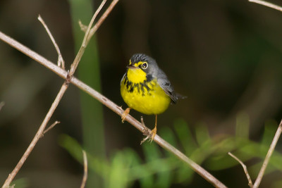 Canada Warbler IMG_0603