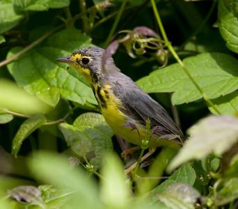 Canada Warbler IMG_4096 rev 1