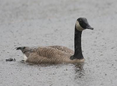 Canada Goose IMG_2102 rev 1