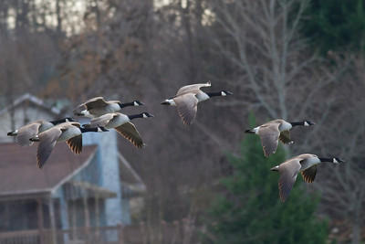 Canada Geese IMG_9813