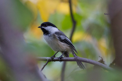 Black-capped Chickadee IMG_1155