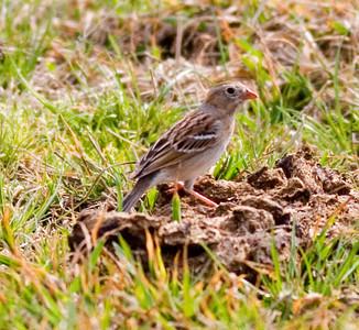 Field Sparrow  IMG_0546 rev 1