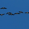Greater White-fronted Geese IMG_6576