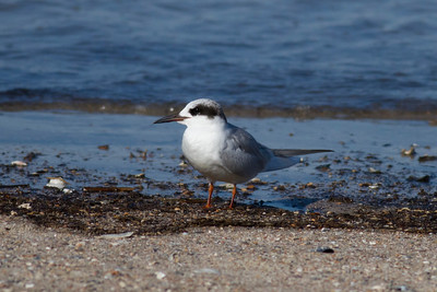 Forster's Tern IMG_4684
