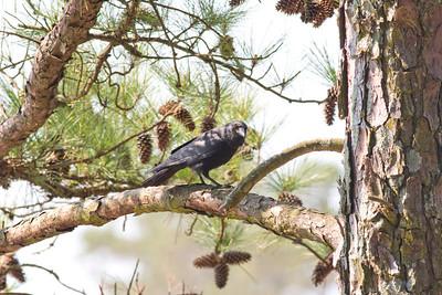 Fish Crow IMG_0794 rev 1