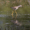 Lesser Yellowlegs IMG_0058