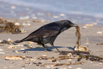 Fish Crow  IMG_0755  rev 1