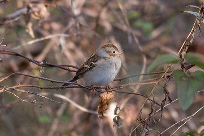 Field Sparrow IMG_9699 rev 1