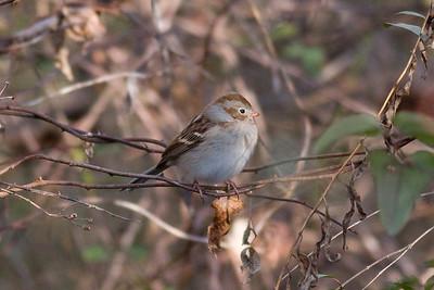 Field Sparrow IMG_9699 rev 1