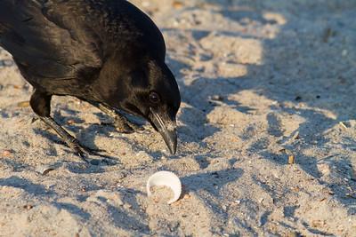 Fish Crow IMG_0463