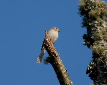 Field Sparrow IMG_0984 rev 1
