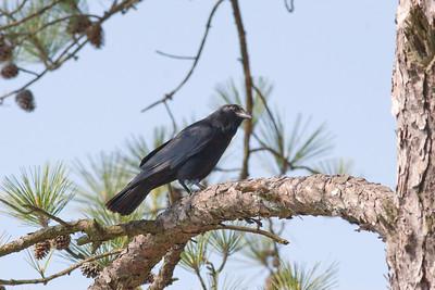 Fish Crow IMG_0798 rev 1