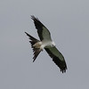 Swallow-tailed Kite IMG_9927