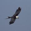 Swallow-tailed Kite IMG_0014