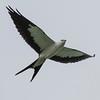 Swallow-tailed Kite IMG_9910