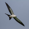 Swallow-tailed Kite IMG_9958