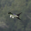 Swallow-tailed Kite IMG_9930