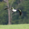 Swallow-tailed Kite IMG_9935