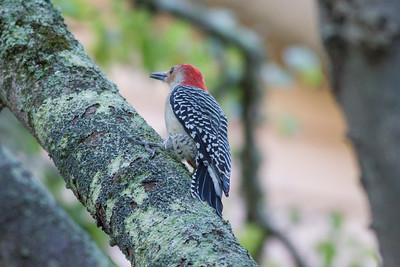 Red-bellied Woodpecker IMG_4596