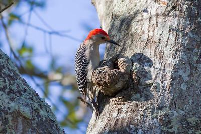 Red-bellied Woodpecker IMG_4636