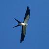 Swallow-tailed Kite IMG_9469